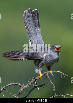 Koekoek roepend; Common Cuckoo calling - Stock Photo