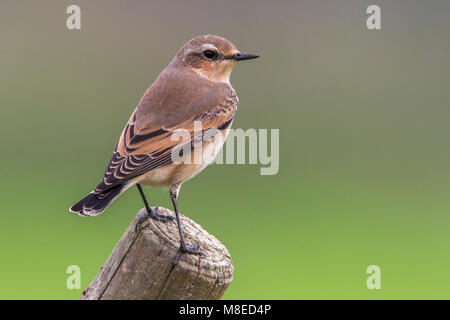 Tapuit, Northern Wheatear; Oenanthe oenanthe leucorhoa - Stock Photo