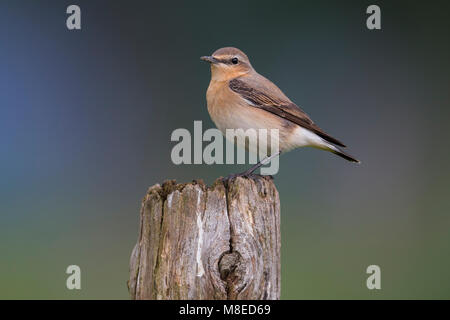 Tapuit; Northern Wheatear; - Stock Photo