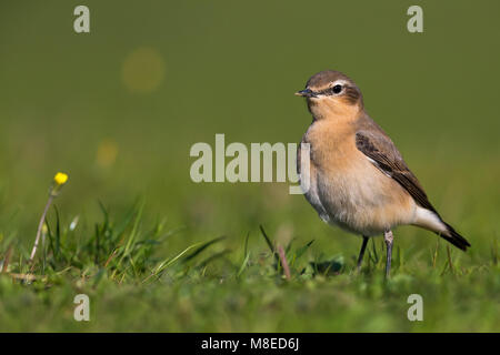 Vrouwtje Tapuit, Female Northern Wheatear - Stock Photo