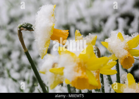 London, UK, 17 Mar 2018. London wakes up to rare spring snow as the 'Beast from the East' returns.  Daffodils covered - Stock Photo