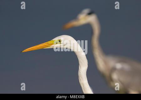 Grote Zilverreiger; Great White Egret - Stock Photo
