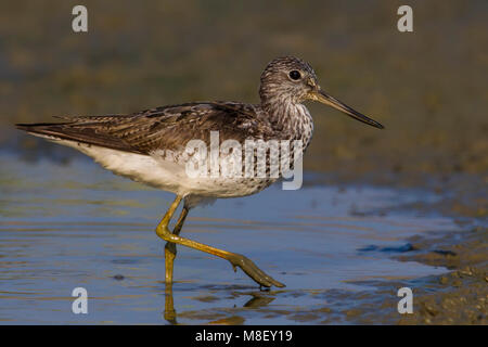 Groenpootruiter, Common Greenshank; Tringa nebularia - Stock Photo
