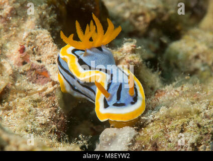 Macro of an anna`s magnificent sea-slug crawling on coral of Bali - Stock Photo