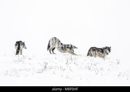 Grey Wolves also known as Timber Wolves, Canis lupis, Manitoba, Canada. - Stock Photo