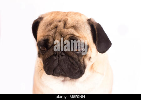 The pug dog sits and looks with the sad big eyes. - Stock Photo