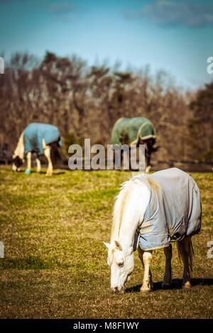 Three horses, covered for cold weather, in a Virginia field grazing in the morning sun. - Stock Photo