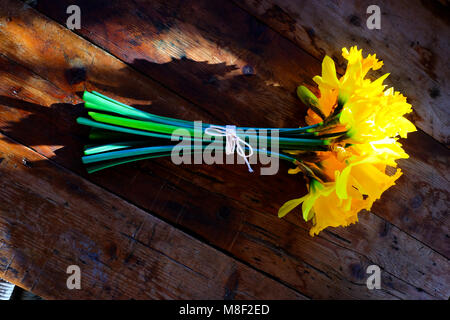 a bunch of 14 yellow daffodils tied together with white string in a bow around the green stems. The flowers are - Stock Photo