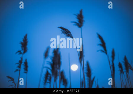 Full moon behind marram grass - Stock Photo