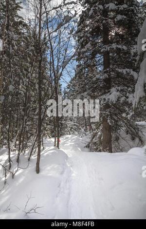 Snowshoe trail through coniferous forest under blue sky, West Kelowna - Stock Photo