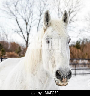 Percheron Horse in winter, close up, Manitoba, Canada. - Stock Photo