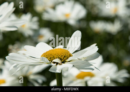 Oxeye Daisies close up. - Stock Photo