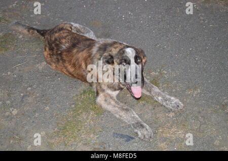 Beautiful Dog Puppy Mastiff In The Fields Of Castilla-Leon. Landscapes Animals Travel October 21, 2017. Becerril - Stock Photo