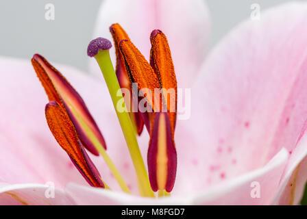 close-up view lilie stigma, Lilium sp - Stock Photo