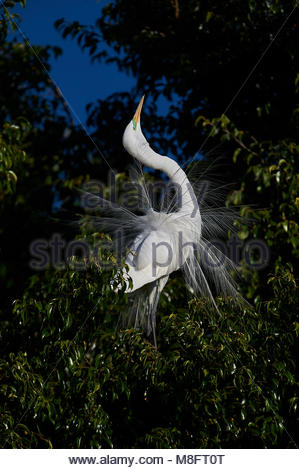 Great Egret (Ardea alba) in breeding plumage courtship dispaly while perched in a tree at edge of Lake Chapala, - Stock Photo