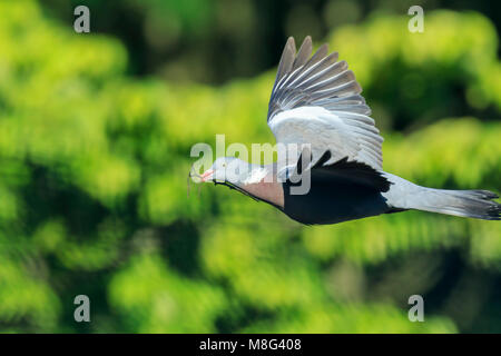 Close-up of a wood pigeon, columba palumbus, bird in flight while gathering nesting material to the nest for breeding. - Stock Photo