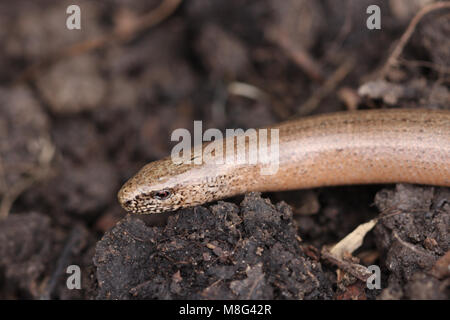 Head of male Slow worm, Anguis fragilis - Stock Photo