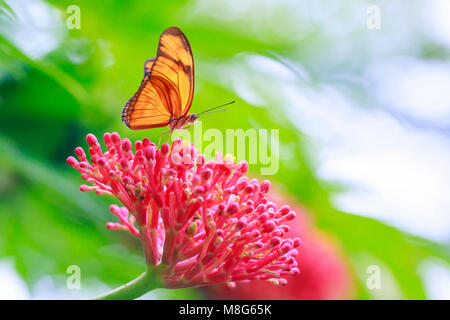 Tropical Julia butterfly Dryas iulia feeding on red flowers and resting on  rainforest vegetation - Stock Photo
