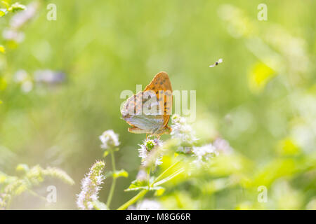 Side view closeup of a Silver-washed fritillary butterfly Argynnis paphia feeding on white flowers in a brightly - Stock Photo