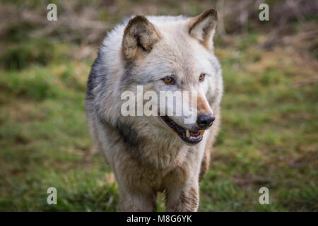 Wolf pictured in U conservation society, Wolves are held in large areas and well looked after, They have saved many - Stock Photo
