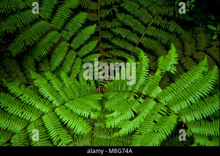 Fern fronds as seen from above in Monteverde Cloud Forest Reserve. - Stock Photo