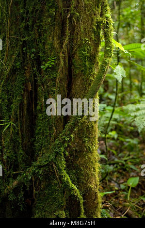 A moss-covered aerial root wraps around a tree trunk in the Monteverde Cloud Forest Preserve. - Stock Photo