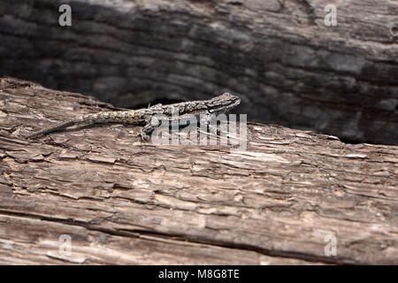 Ornate tree lizard (Urosaurus ornatus), native to Arizona, USA. - Stock Photo