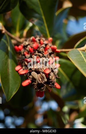 Magnolia grandiflora fruits - Stock Photo