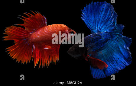 Siamese fighting fish,Half Moon long blue tail(HMPK) and red Crown Tail in fighting action,Betta splendens isolated - Stock Photo