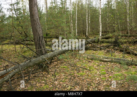 Old broken hornbeam tree moss wrapped lying in front of deciduous stand, - Stock Photo