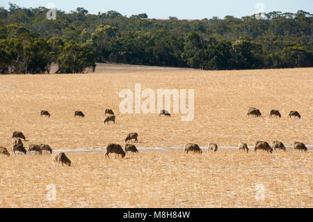 Sheep Pasture in the Wheatbelt - Western Australia - Stock Photo