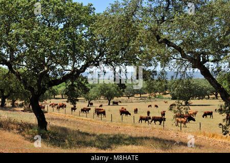 Cattle grazing in Montemor-o-Novo. Portugal - Stock Photo