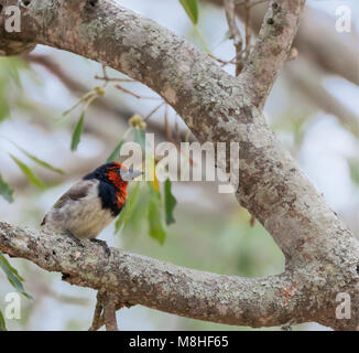 A Black-collared Barbet (Lybius torquatus) in a tree in Kruger National Park, South Africa. - Stock Photo