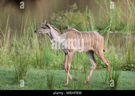 Young male Greater Kudu, Tragelaphus strepsiceros, walking at the side of a waterhole in Kruger NP, South Africa - Stock Photo