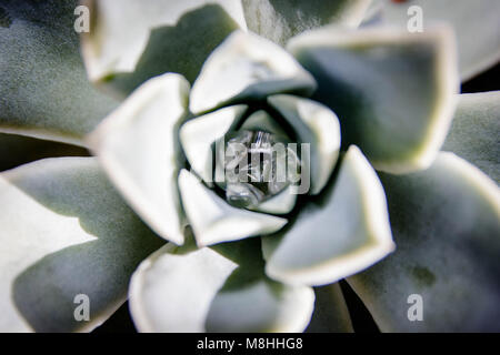 Desert Rose succcullent - Stock Photo
