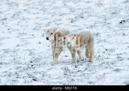 Ravenstonedale, Cumbria.  UK Weather. 18th March, 2018.  Newborn Texel twin lambs with ewe in bitterly cold winds - Stock Photo