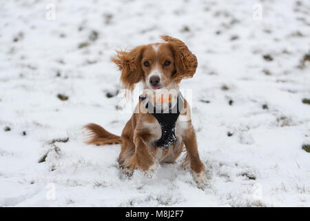 Wimbledon, London, UK. 18th March, 2018. 11 month old cockapoo Pip in the snow on Wimbledon Common. Parts of London - Stock Photo