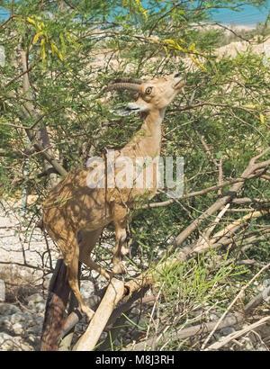 female Arabian ibex climbing a flowering acacia tree to eat the leaves - Stock Photo