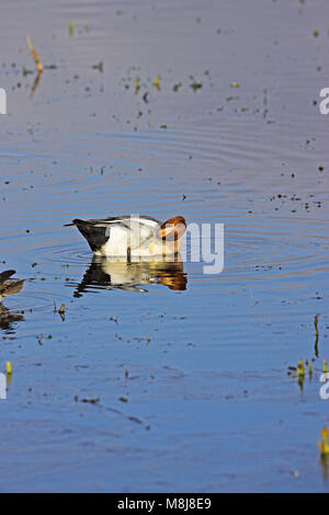 Eurasian wigeon Anas penelope male preening on shallow water Catcott Lows Nature Reserve Somerset England UK February - Stock Photo