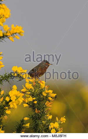 Dartford warbler Sylvia undata in blooming gorse New Forest National Park, Hampshire, England - Stock Photo