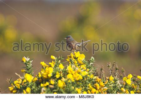 Dartford warbler Sylvia undata male Linwood New Forest National Park Hampshire England - Stock Photo