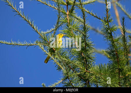 American yellow warbler Setophaga petechia perched in a tree in Rotary Park Bouchtouche New Brunswick Canada August - Stock Photo