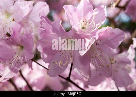 Royal azalea, Koreansk azalea (Rhododendron schlippenbachii) - Stock Photo