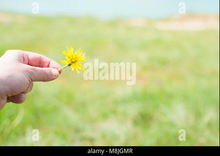 little kid hand holding yellow dandelion flower on background of green grass in spring - Stock Photo
