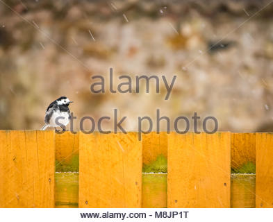 Zoom of pied wagtail, Motacilla alba yerrellii, sitting on wooden garden fence as snow falls, East Lothian, Scotland, - Stock Photo