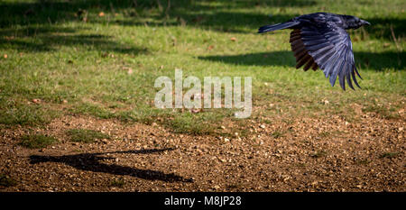 Carrion Crow's shadow tries to keeps up - Stock Photo