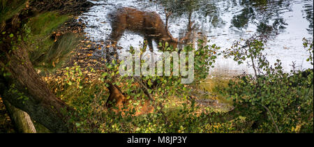 Hidden by foliage a Stag slowly drinks from his reflection in Richmond Park's Pen Pond - Stock Photo