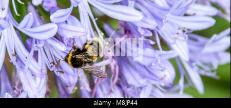 Bumblebee busily buzzing collecting nectar from an agapanthus in an English country garden - Stock Photo