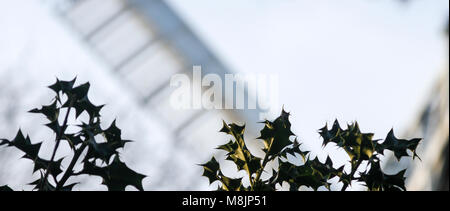 Holly dominates the foreground of Wimbledon Common's Smock windmill's double Patent sail arm - Stock Photo