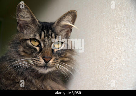 A cat waits patiently to be adopted at the local animal shelter. - Stock Photo